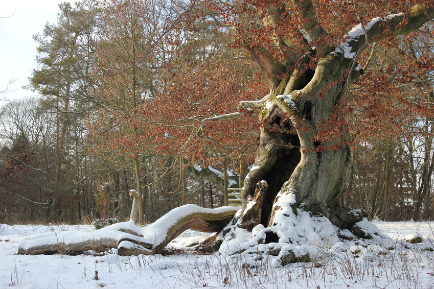 Winter in Burgwald oude boom